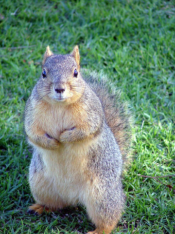 File:Not a Grey Squirrel..lol, or English..come to that..-O).jpg