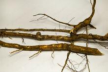 Sassafras root