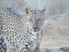 State Desert Cat-New South African Leopard