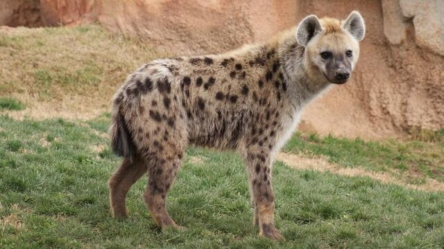 File:Spotted-hyena-sideview.adapt.945.1.jpg