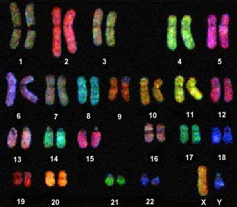 File:Chromosome painting.jpg