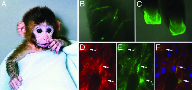 File:Fig. 2. (A) Transgenic rhesus male with inserted DNA.jpg