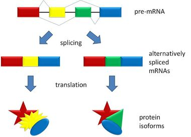 800px-Splicing overview