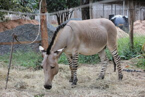 A Zebroid