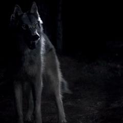 Mason's wolf form