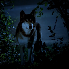 Jackson's wolf form