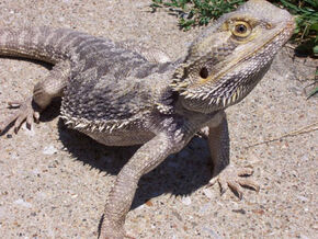 Bearded Dragon 1