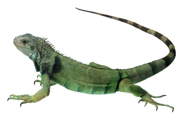 File:Green Iguana 1.jpg