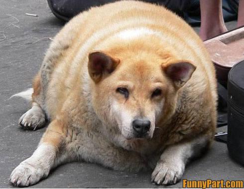 Plik:FunnyPart-com-fat lazy dog.jpg