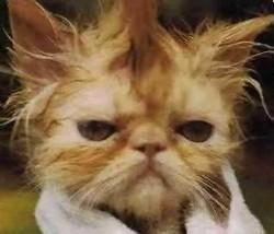 Plik:Cat.jpg