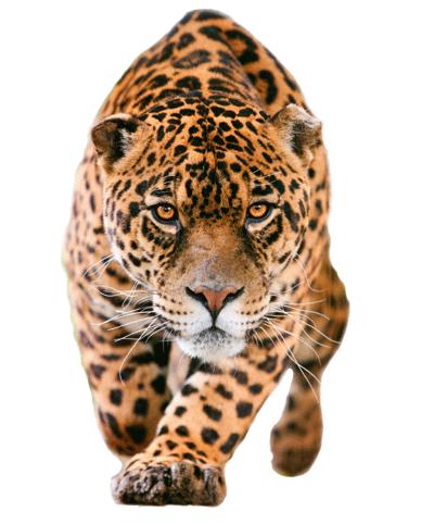 Jaguar-PNG-Pic