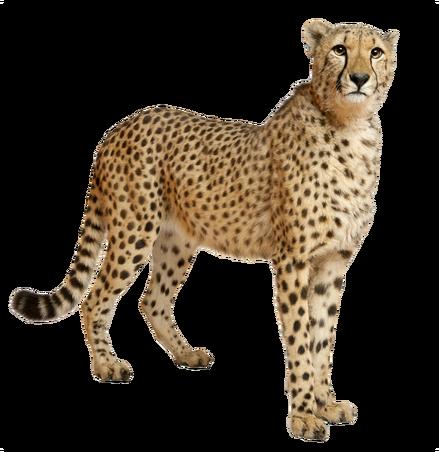 Cheetahs transparent