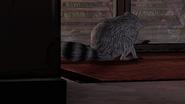 AmTR Raccoon