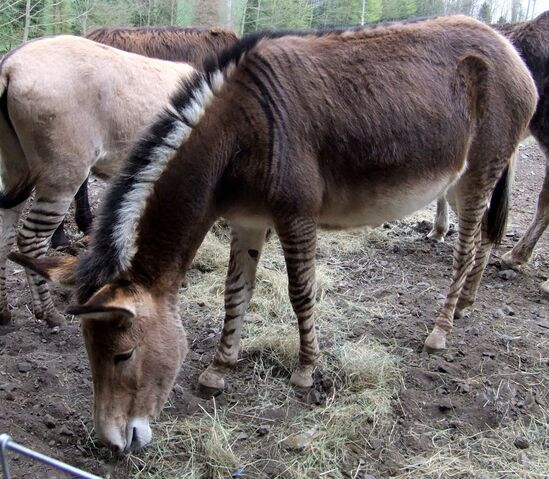File:Zonkey 2, Bridgnorth Donkey Sanctuary.jpg