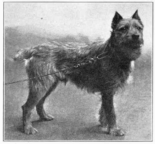 File:Wire-Haired-Dutch-Terrier.jpg