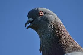 File:Pigeon content.jpg