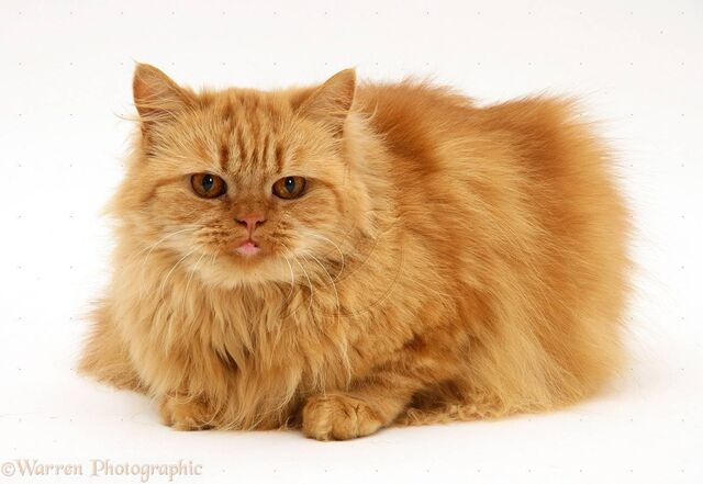File:Gingerpersian.jpg
