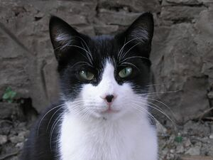 Black and white cat-crop