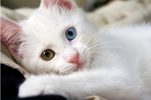 Blue-cat-eyes-green-heterochromia-kitten-Favim.com-41859-1-