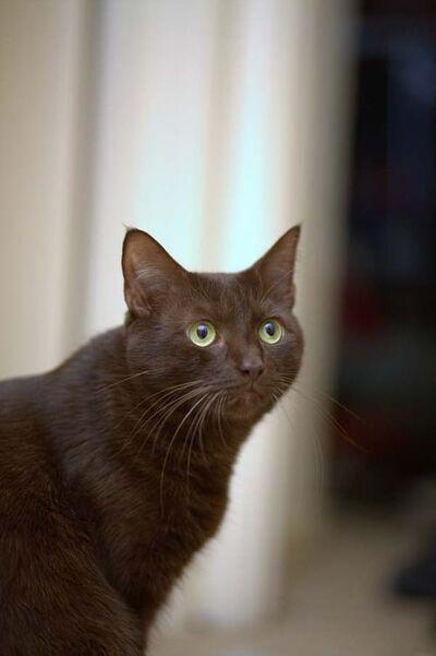 Havana-Brown-cat-2