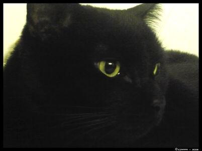 Black Cat by ezridax999-1-