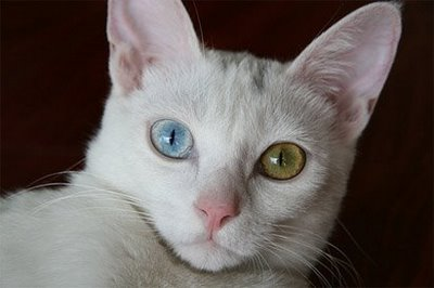 File:White cat blue green eyes.jpg