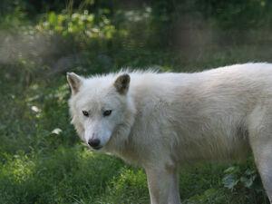 Arctic Wolf's Glare