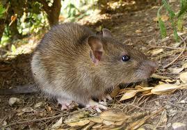 File:Rat1.jpeg