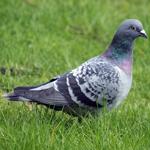 File:Pigeon-Dove.jpg