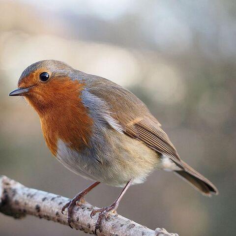 File:Robin.jpg