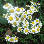 File:Chamomile.png