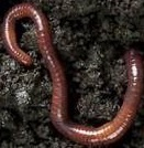 File:Earthworm.jpg