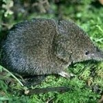 File:Shrew.jpg