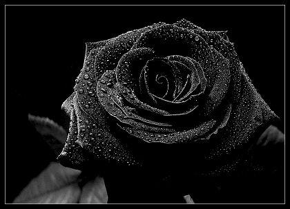 File:Blackrose.jpg