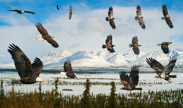 File:Bald Eagle flight From The Crossley ID Guide Raptors.jpg