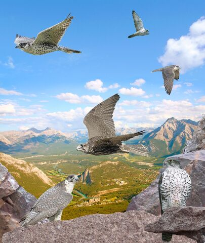 File:Gyrfalcon From The Crossley ID Guide Raptors.jpg
