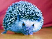 ANT Ava's Hedgehog Sonic