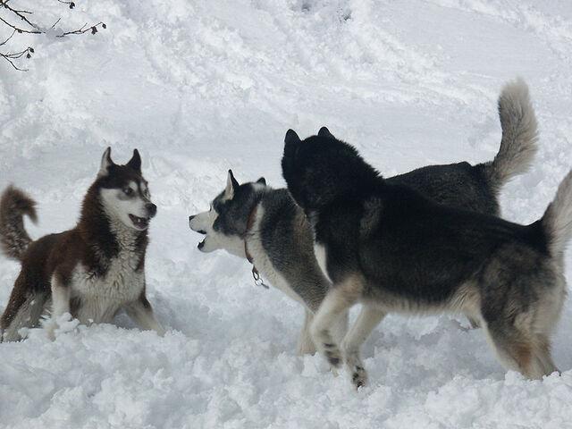Datei:Schlittenhund.jpg