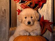 Golden retriever puppy 100