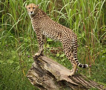 File:Chewie the cheetah..jpg