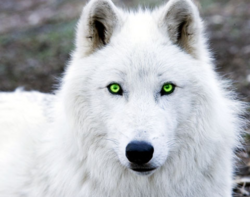 White Wolf looking at