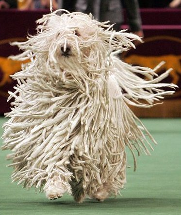 File:Komondor.jpg