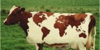 Krowa Kosmopolitka