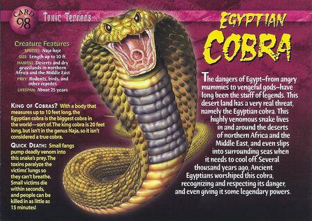 Egyptian Cobra front