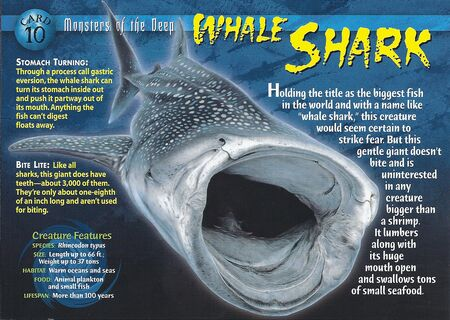 Whale Shark front