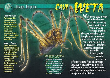 Cave Weta front