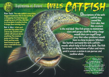Wels Catfish front