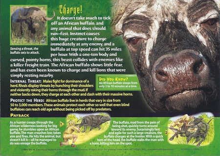 African Buffalo back