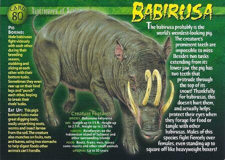 Babirusa front