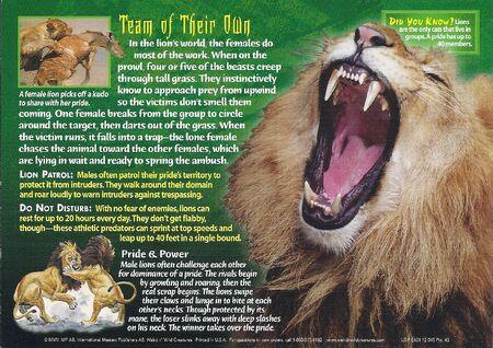 African Lion back